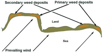 23. Deposition of weed or flotsam by the prevailing winds blowing onto a rocky shore.  Both primary and secondary weed deposits generate maggots and attract fish.