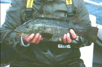 Wrasse like this, caught on a trolled plug quite recently, would have been prize catches in those early days.