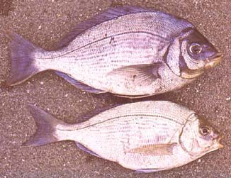 Male and female black bream.  The fish probably undergo a sex change so that the larger fish are all males.